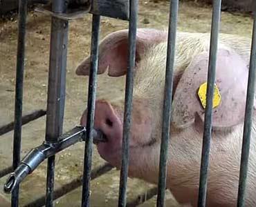 Автоматические поилки сосковые для свиней и поросят-отъемышей
